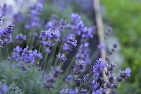 Photo pour Bouquet de lavande d'été sur un fond en bois ancien. (vue de dessus) - image libre de droit