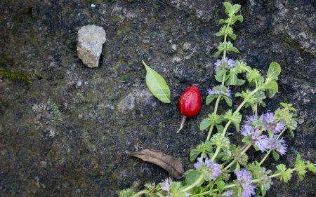"""Photo pour Menthe hudsonienne, Mentha pulegium, communément appelée """"menthe verte"""" en Europe, aussi appelée """"moustique"""" et """"pudding grass"""". vintage pierre de fond - image libre de droit"""