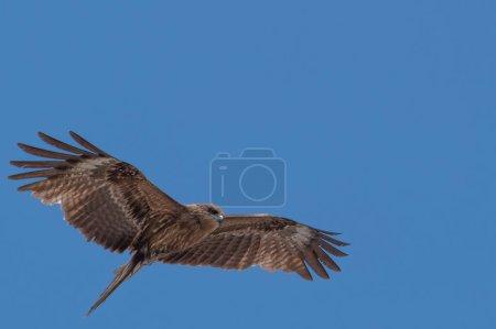 Japanese Black-eared kites (Milvus lineatus ) bird of prey soaring against blue sky.