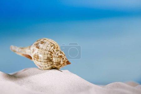 tropical seashell on beach sand