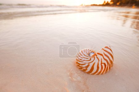 nautilus shell on beach