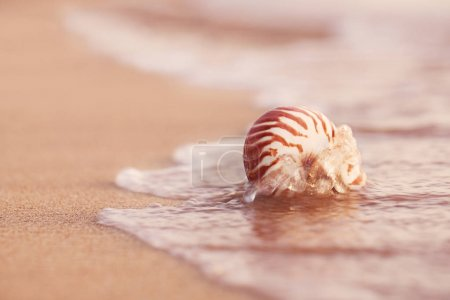 seashell nautilus on sea beach