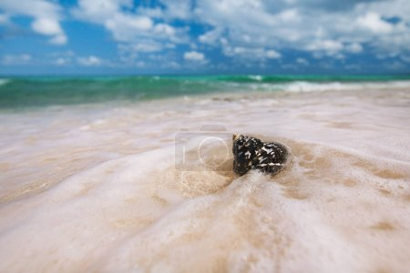 Caribbean black shell -  Cittarium pica, common name the West Indian top shell or magpie shell - on sandy beach with sea waves