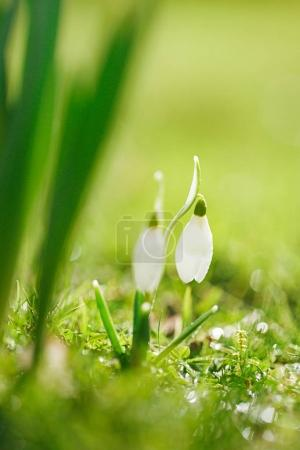 Close up of snowdrops flower in green grass