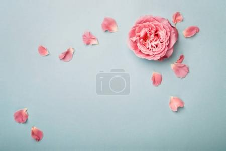 Blue background with rose and petals, plenty of copy space