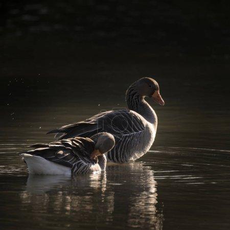 Photo pour Belle paire de Greylag Goose Anser Anser assis au soleil sur le lac - image libre de droit