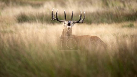 Photo pour Beau cerf cerf Cervus Elaphus à l'automne Paysage boisé d'automne pendant l'accouplement des ornières seson - image libre de droit