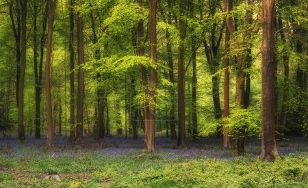 Photo pour Epic Spring landscape image of vibrant bluebell flowers in woodland - image libre de droit