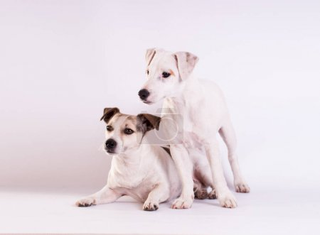 Jack Russell Terriers at studio on white