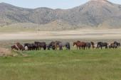 """Постер, картина, фотообои """"стадо диких лошадей весной в пустыне юты"""""""