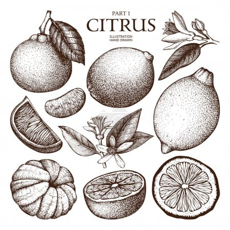Illustration for Citrus plants sketch. Vector illustration of highly detailed exotic fruits - Royalty Free Image