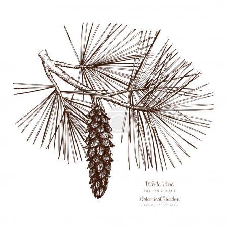 Illustration for White Pine botanical illustration. Vintage conifer tree sketch. Hand drawn vector. - Royalty Free Image
