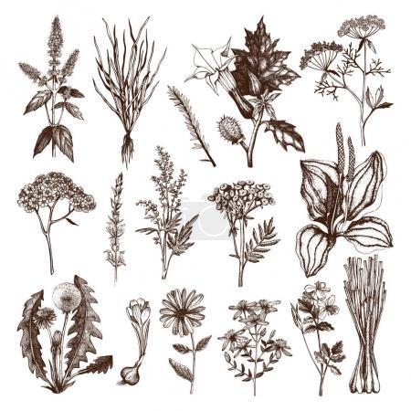 Illustration pour Collection vectorielle d'épices et d'herbes dessinées à la main. Illustration botanique. Ensemble de croquis vintage d'herbes médicinales et de plantes toxiques isolé sur blanc - image libre de droit