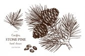 Vintage Stone Pine illustration