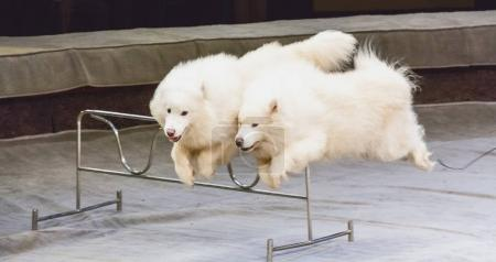 Two white dogs jump over barrier in circus