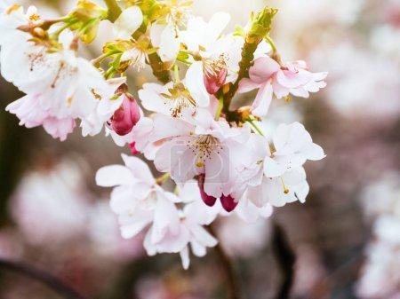 Fresh sakura cherry blossom in garden