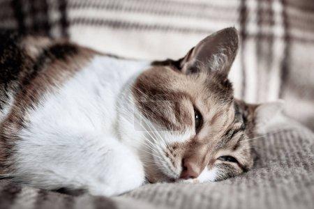 Photo pour Mignon chat dormir sur couverture sur chaud jour de printemps, concept de calme et de tranquillité - image libre de droit