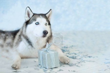 husky dog with present box.