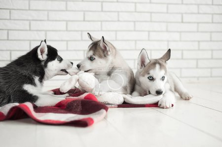 Cute little boy and three young husky puppies sleeping on a white background. Symbol of new year 2018