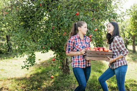 Girls with big box of red apples in Orchard garden. Harvest Concept. Teenagers eating fruits at fall harvest.