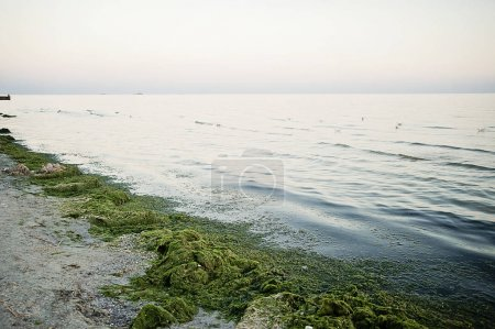 Pollution of the sea. ecology problem.Dirty sea in seaweed. The sea is flowering.