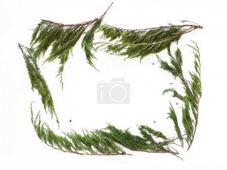 Frame of coniferous branches of juniper