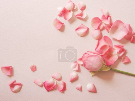 Pink rose with petals on pink surface