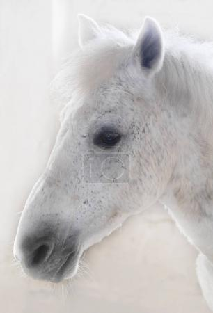 side view of white horse head on fuzzy background