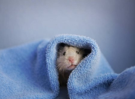 Beige hamster under blue cover