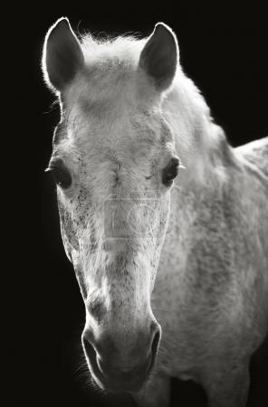 Close view of monochrome horse head on black background