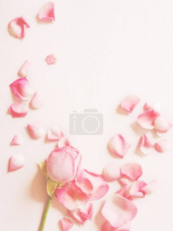 Pink roses and petals on pink background, top view with copy space