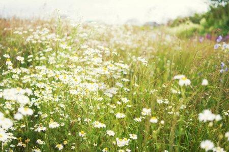Foto de Flores en el campo de verano en el día soleado - Imagen libre de derechos