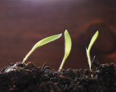 Sprouts of grass from the ground close-up on a dark wooden background, macro photo. Ecology concept