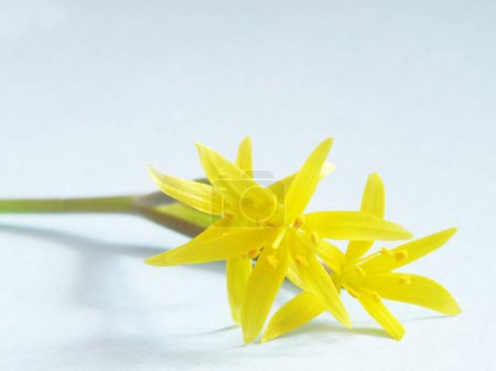 Branch of small yellow lilies on light blue background, selective focus