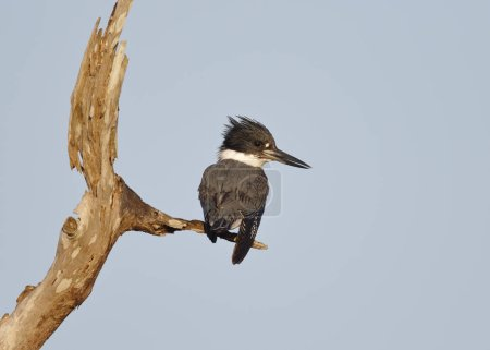 Male Belted Kingfisher perched on a dead branch - Florida