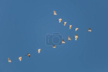 Photo pour Troupeau d'aigrettes neigeuses (Egretta thula) en vol contre un ciel bleu - Cedar Key, Floride - image libre de droit