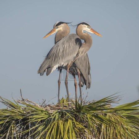 Photo pour Paire de Grands Hérons (Ardea herodias) perchés sur leur nid au sommet d'un palmier - Melbourne, Floride - image libre de droit