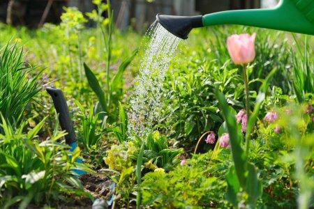 Photo pour Fleurs de printemps dans le lit de fleurs dans le jardin, la plantation et l'arrosage à partir de plantes arroseuses, primevères, tulipes - image libre de droit