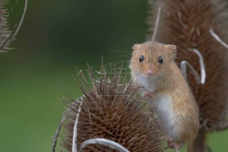 cute harvest mouse