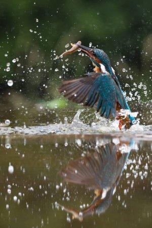 british kingfisher bird