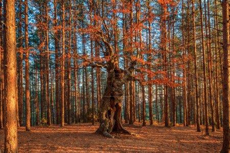Photo pour Vieil arbre à feuilles caduques parmi une forêt de pins - image libre de droit
