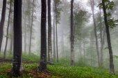 Misty spring beech forest
