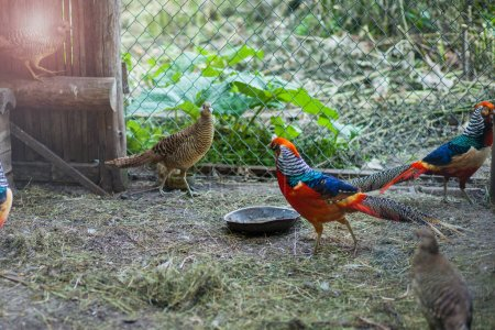 Photo for Pheasants in the cag - Royalty Free Image