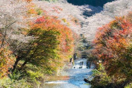 Shikizakura sakura blossom
