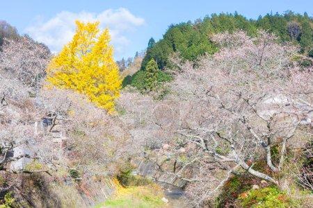 Autumn Landscape with sakura blossom