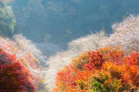 Obara Sakura in autumn