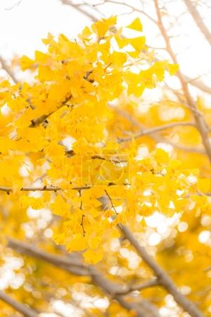 Photo for Autumn Ginkgo trees in Tokyo, Japan - Royalty Free Image