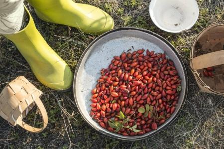 Photo for Rosehip in pan with farmer cropped - Royalty Free Image