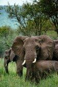 Stádo slonů v tallgrass oblasti