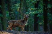 Deer standing in woods